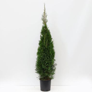 Thuja occidentalis smaragd 125-150 cm