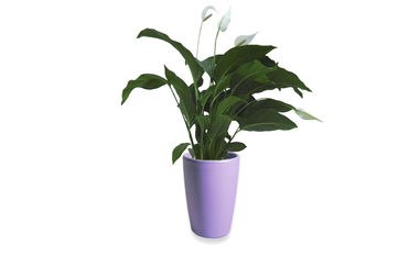 Lepelplant Spathiphyllum 90 cm in Essence vaas lila 45 x 66,5 cm Mcollections 3 planten