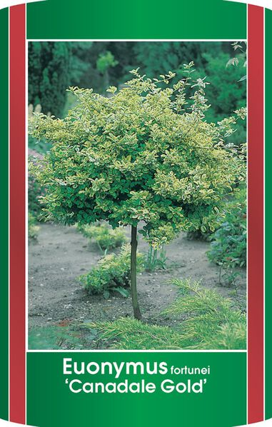 Euonymus fort. Canadale Gold