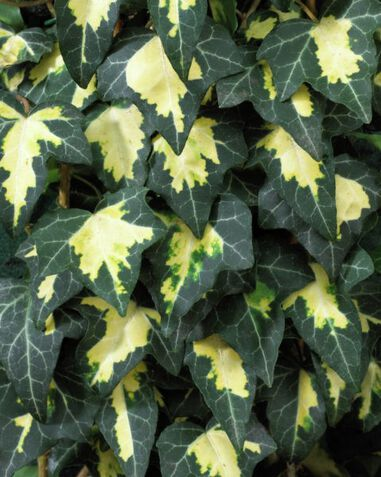 Hedera helix Goldheart Klimplant Up Climbers